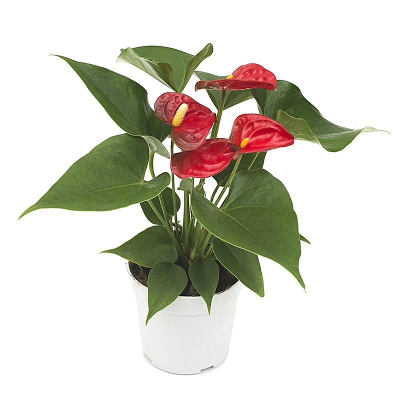 17-air-purifying-plants-flamingo-lily