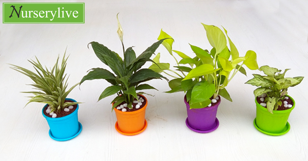 nurserylive-top-4-easy-to-grow-indoor-plants-pack