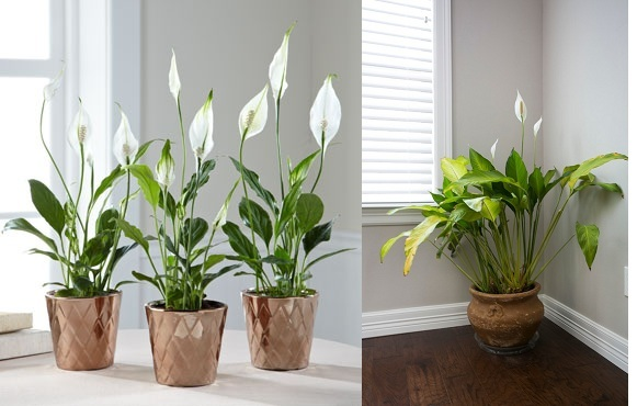 Peace lily best for small places plant talk nurserylive wikipedia - Indoor plant for bedroom ...