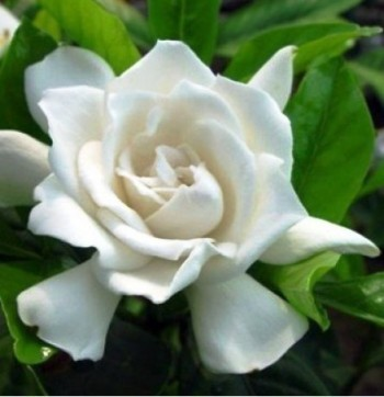top  fragrant plants to spread a sweet aroma in your home  top, Natural flower