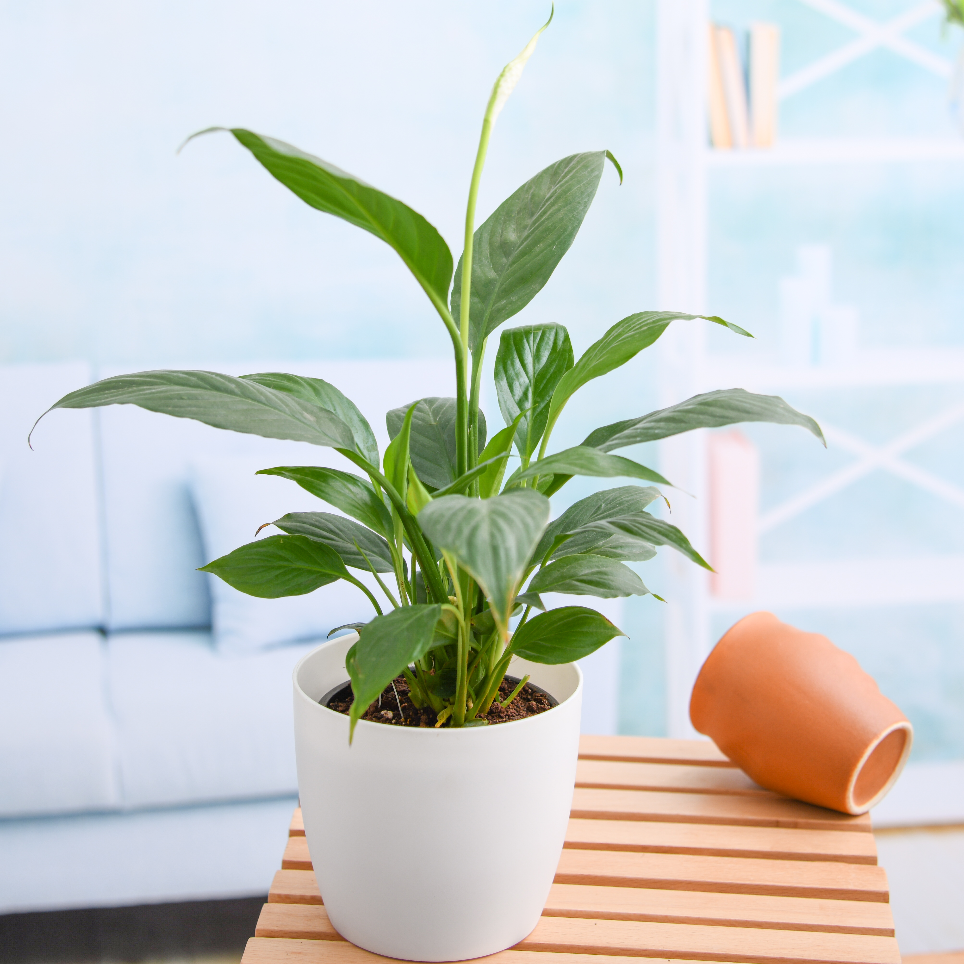 nurserylive-peace-lily-spathiphyllum-small