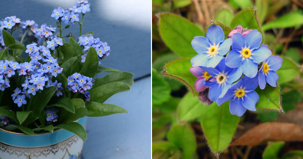 The Buzz on How Many Forget Me Not Seeds Per Pot